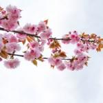 2018.4.11 高尾 南浅川の桜_180413_0004