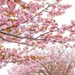 2018.4.11 高尾 南浅川の桜_180413_0012
