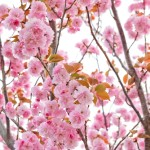 2018.4.11 高尾 南浅川の桜_180413_0014