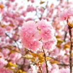 2018.4.11 高尾 南浅川の桜_180413_0017