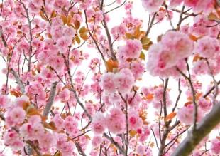 2018.4.11 高尾 南浅川の桜_180413_0023