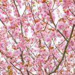 2018.4.11 高尾 南浅川の桜_180413_0025
